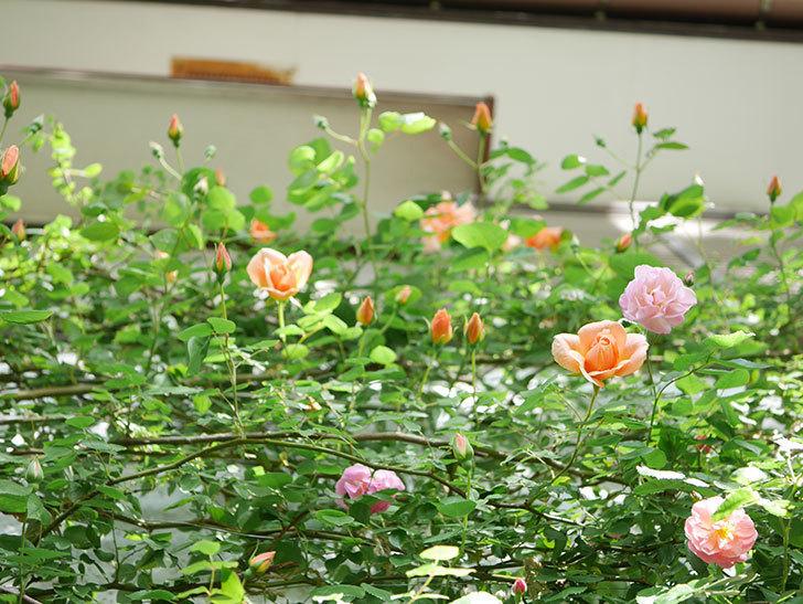 クレパスキュール(Crépuscule)の花が増えてきた。半ツルバラ。2021年-031.jpg