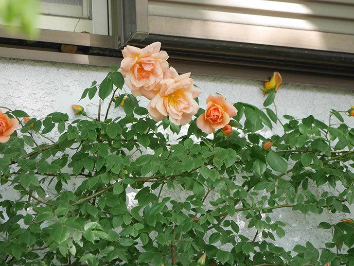 クレパスキュール(Crépuscule)の花が増えてきた。半ツルバラ。2021年-033.jpg