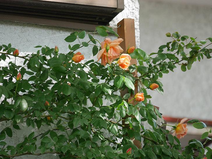 クレパスキュール(Crépuscule)の花が増えてきた。半ツルバラ。2021年-034.jpg