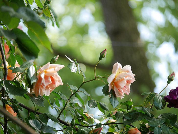 クレパスキュール(Crépuscule)の花が増えてきた。半ツルバラ。2021年-035.jpg