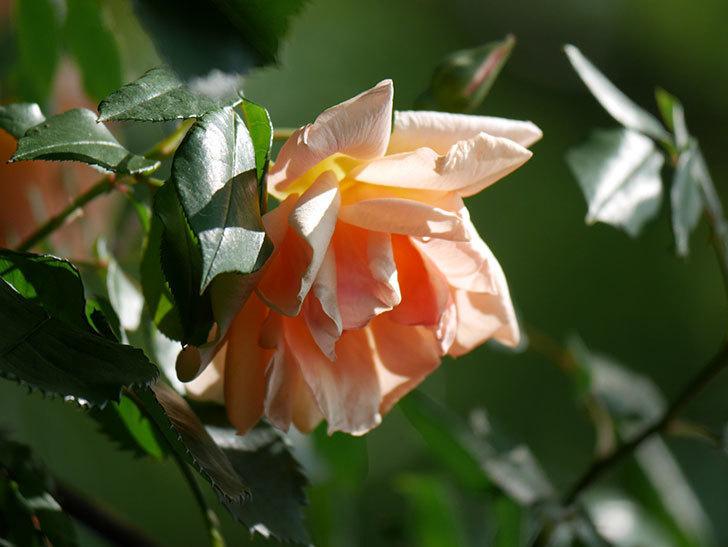 クレパスキュール(Crépuscule)の花が増えてきた。半ツルバラ。2021年-036.jpg