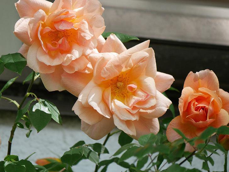 クレパスキュール(Crépuscule)の花が増えてきた。半ツルバラ。2021年-040.jpg