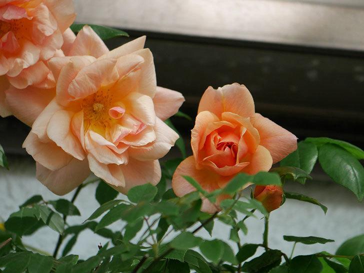 クレパスキュール(Crépuscule)の花が増えてきた。半ツルバラ。2021年-042.jpg