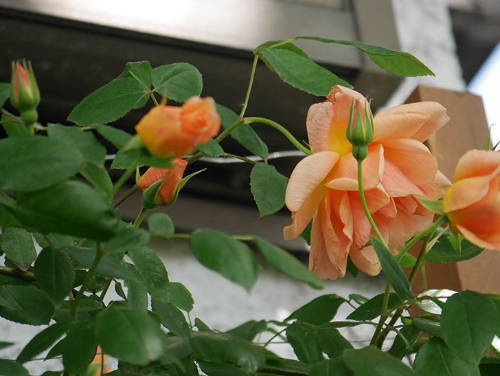 クレパスキュール(Crépuscule)の花が増えてきた。半ツルバラ。2021年-043.jpg