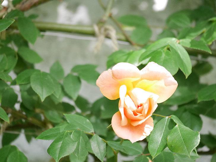 クレパスキュール(Crépuscule)の花が増えてきた。半ツルバラ。2021年-044.jpg