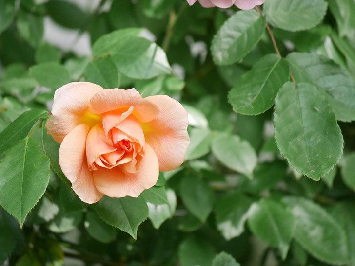 クレパスキュール(Crépuscule)の花が増えてきた。半ツルバラ。2021年-045.jpg