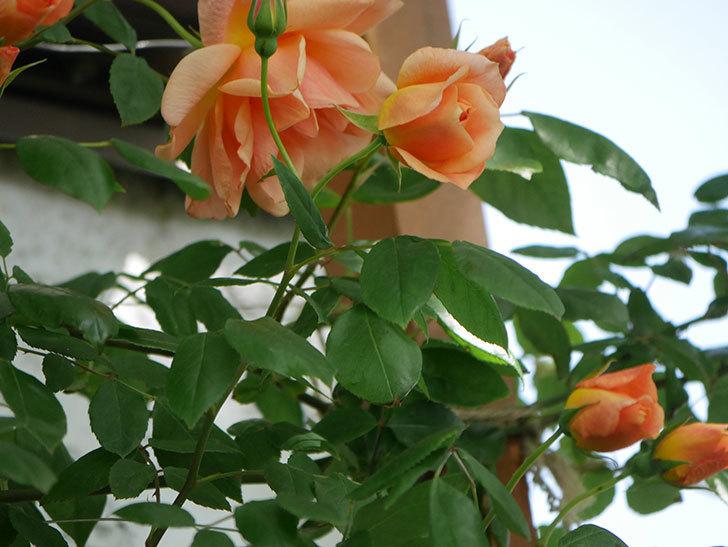クレパスキュール(Crépuscule)の花が増えてきた。半ツルバラ。2021年-046.jpg