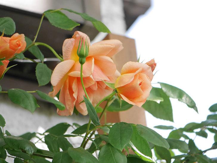 クレパスキュール(Crépuscule)の花が増えてきた。半ツルバラ。2021年-047.jpg