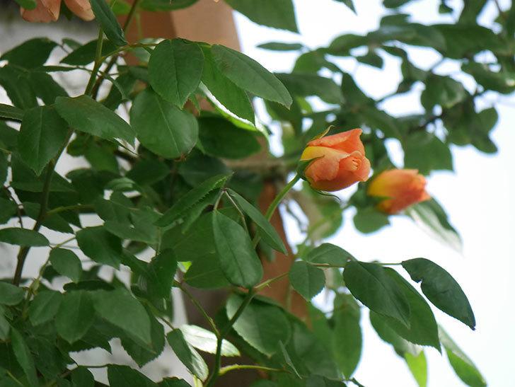クレパスキュール(Crépuscule)の花が増えてきた。半ツルバラ。2021年-048.jpg
