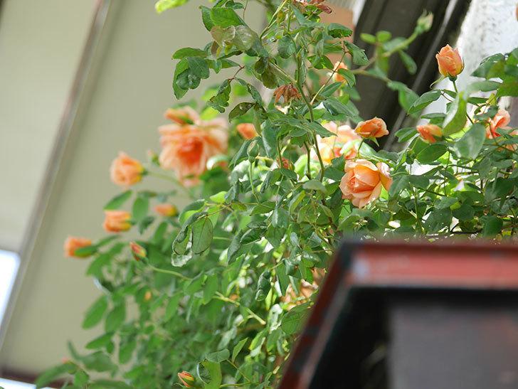 クレパスキュール(Crépuscule)の花が増えてきた。半ツルバラ。2021年-049.jpg