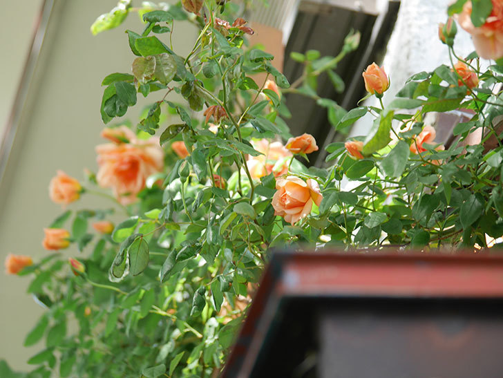 クレパスキュール(Crépuscule)の花が増えてきた。半ツルバラ。2021年-050.jpg