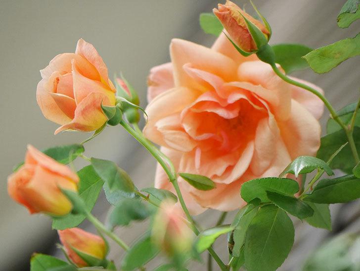 クレパスキュール(Crépuscule)の花が増えてきた。半ツルバラ。2021年-054.jpg