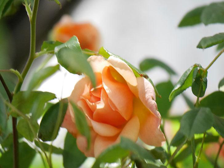 クレパスキュール(Crépuscule)の花が増えてきた。半ツルバラ。2021年-056.jpg