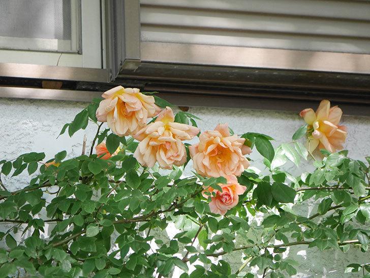 クレパスキュール(Crépuscule)の花が増えてきた。半ツルバラ。2021年-057.jpg