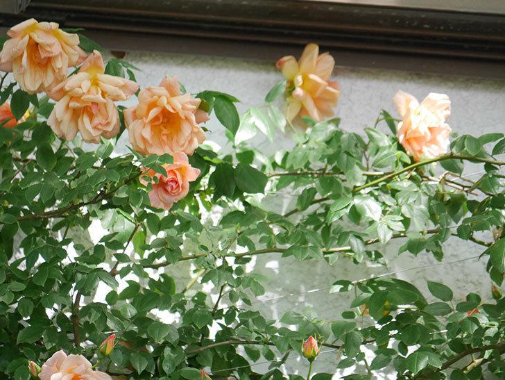 クレパスキュール(Crépuscule)の花が増えてきた。半ツルバラ。2021年-058.jpg