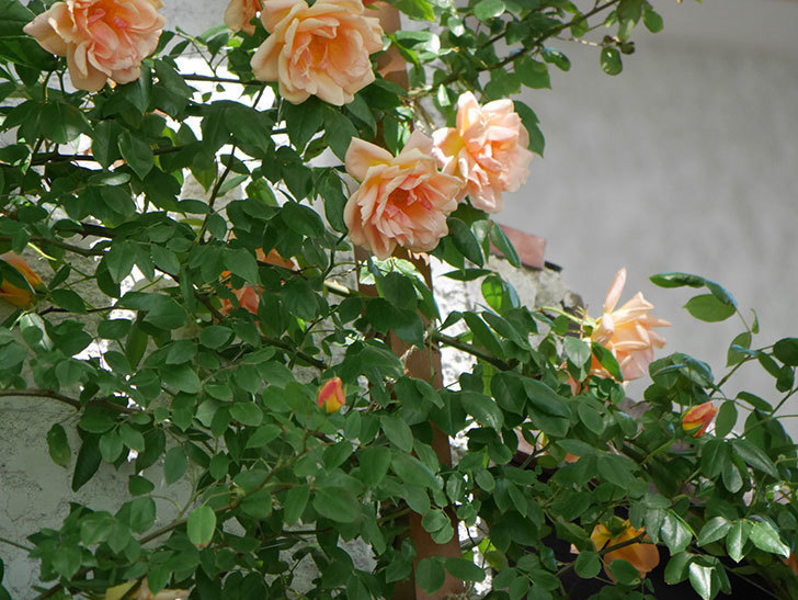 クレパスキュール(Crépuscule)の花が増えてきた。半ツルバラ。2021年-060.jpg
