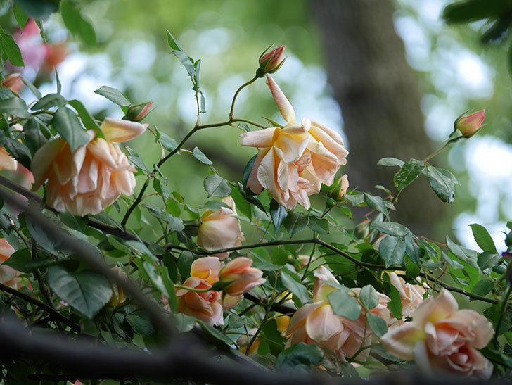 クレパスキュール(Crépuscule)の花が増えてきた。半ツルバラ。2021年-062.jpg