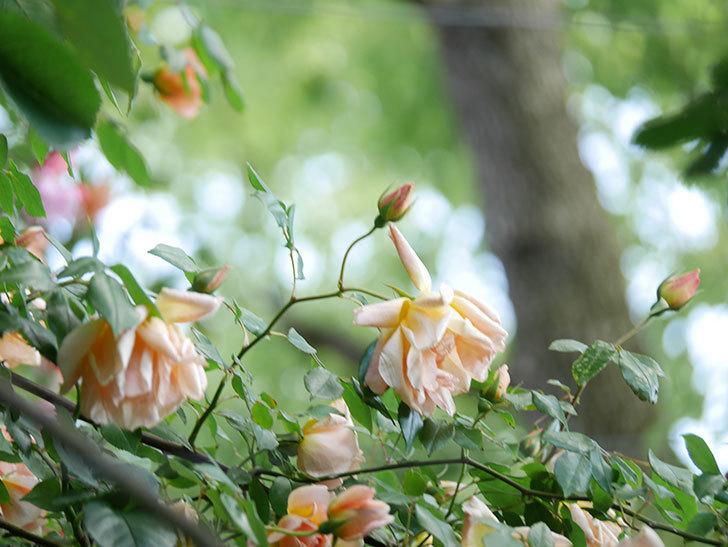 クレパスキュール(Crépuscule)の花が増えてきた。半ツルバラ。2021年-063.jpg