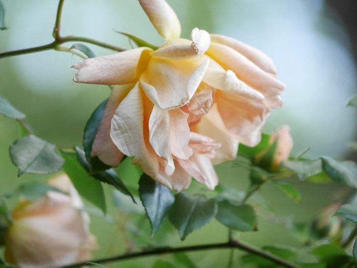 クレパスキュール(Crépuscule)の花が増えてきた。半ツルバラ。2021年-064.jpg