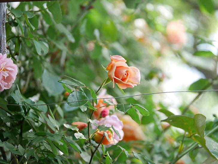 クレパスキュール(Crépuscule)の花が増えてきた。半ツルバラ。2021年-067.jpg