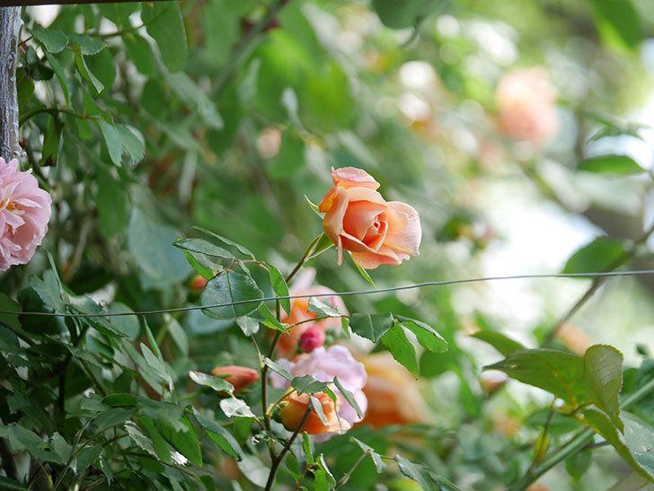 クレパスキュール(Crépuscule)の花が増えてきた。半ツルバラ。2021年-068.jpg