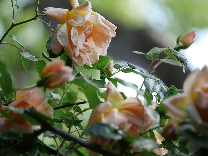 クレパスキュール(Crépuscule)の花が増えてきた。半ツルバラ。2021年-071.jpg