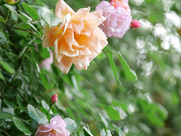 クレパスキュール(Crépuscule)の花が増えてきた。半ツルバラ。2021年-072.jpg
