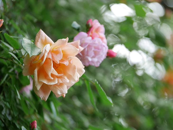 クレパスキュール(Crépuscule)の花が増えてきた。半ツルバラ。2021年-073.jpg