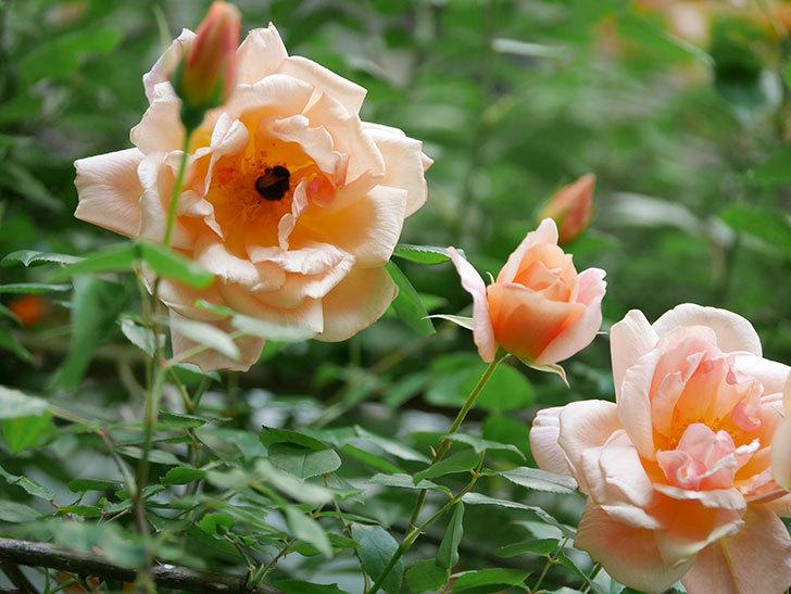 クレパスキュール(Crépuscule)の花が増えてきた。半ツルバラ。2021年-075.jpg