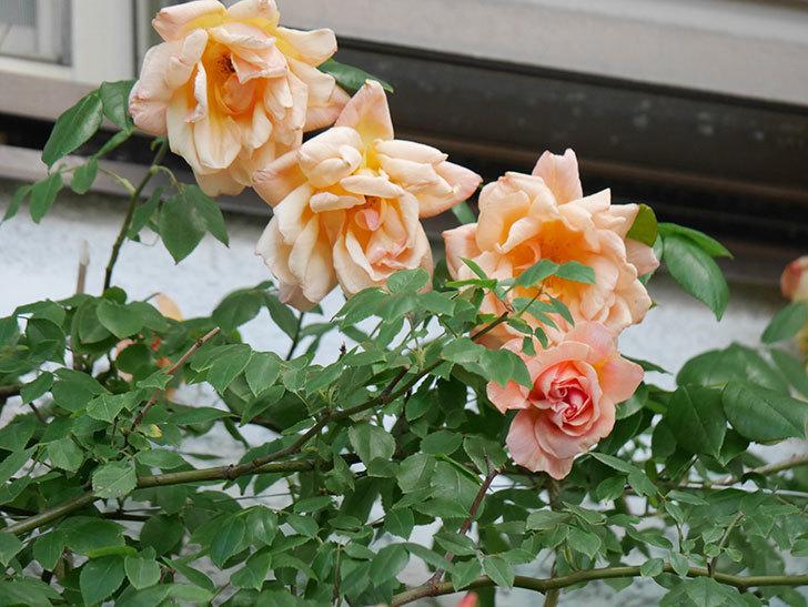 クレパスキュール(Crépuscule)の花が増えてきた。半ツルバラ。2021年-076.jpg