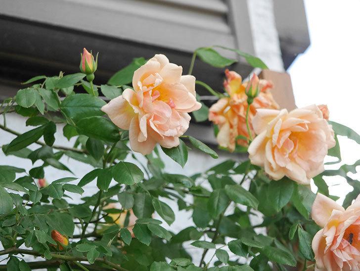 クレパスキュール(Crépuscule)の花が増えてきた。半ツルバラ。2021年-077.jpg
