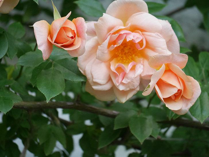 クレパスキュール(Crépuscule)の花が増えてきた。半ツルバラ。2021年-078.jpg