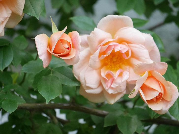 クレパスキュール(Crépuscule)の花が増えてきた。半ツルバラ。2021年-079.jpg