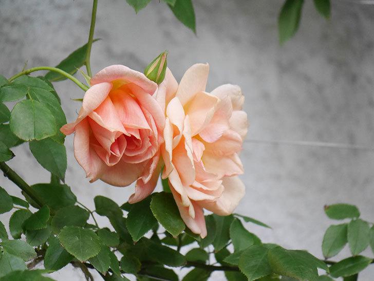 クレパスキュール(Crépuscule)の花が増えてきた。半ツルバラ。2021年-081.jpg