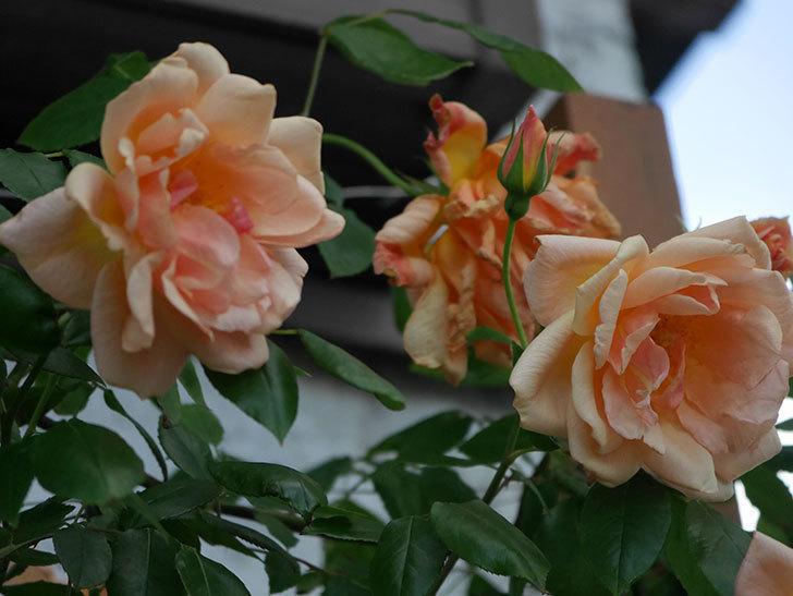 クレパスキュール(Crépuscule)の花が増えてきた。半ツルバラ。2021年-082.jpg