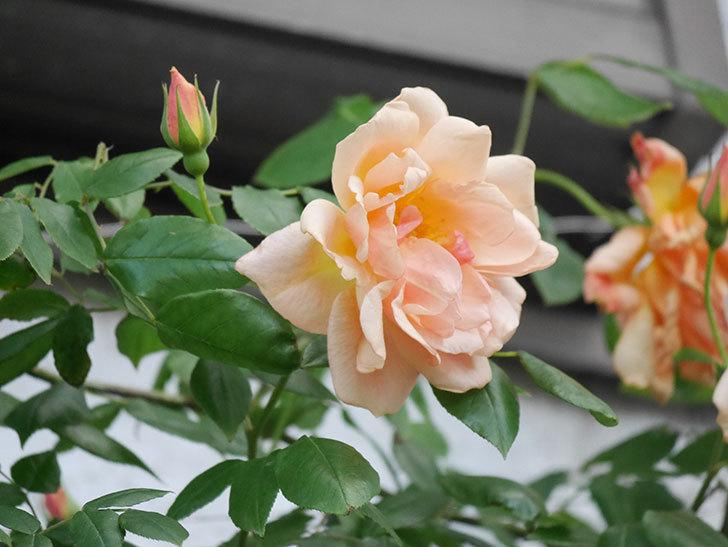クレパスキュール(Crépuscule)の花が増えてきた。半ツルバラ。2021年-083.jpg