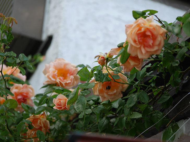 クレパスキュール(Crépuscule)の花が増えてきた。半ツルバラ。2021年-085.jpg