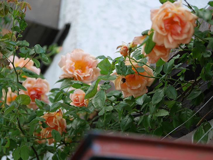 クレパスキュール(Crépuscule)の花が増えてきた。半ツルバラ。2021年-086.jpg