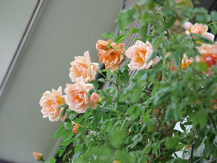 クレパスキュール(Crépuscule)の花が増えてきた。半ツルバラ。2021年-087.jpg
