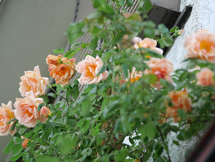 クレパスキュール(Crépuscule)の花が増えてきた。半ツルバラ。2021年-088.jpg