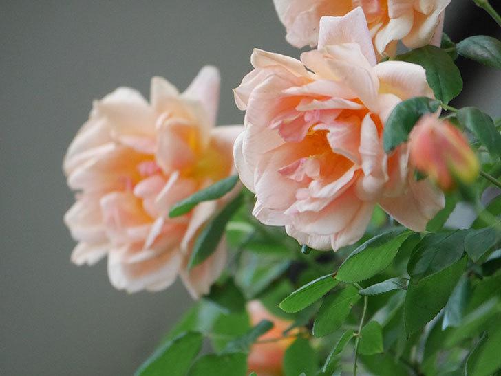 クレパスキュール(Crépuscule)の花が増えてきた。半ツルバラ。2021年-089.jpg