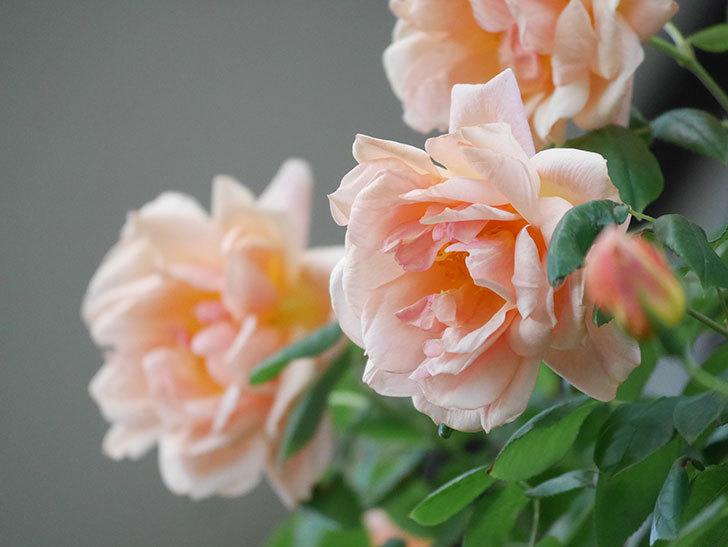 クレパスキュール(Crépuscule)の花が増えてきた。半ツルバラ。2021年-090.jpg