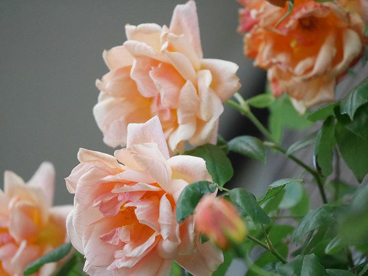クレパスキュール(Crépuscule)の花が増えてきた。半ツルバラ。2021年-091.jpg