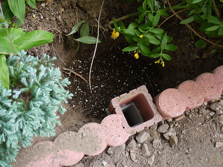 クレパスキュール(ツルバラ)の8号あんどん仕立てを地植えした。2016年-5.jpg