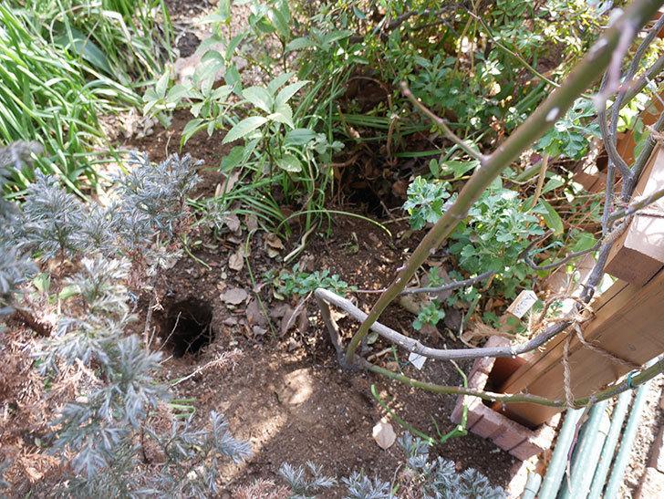 クレパスキュール(ツルバラ)に寒肥を施した。2019年-1.jpg