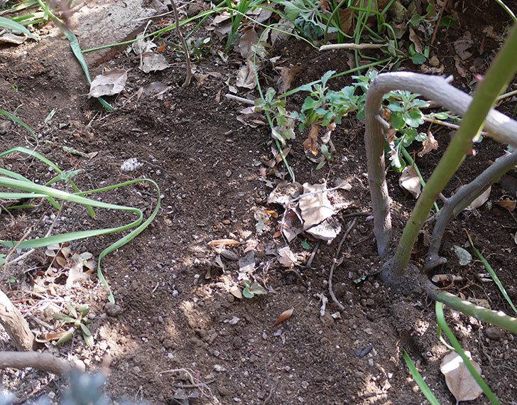 クレパスキュール(ツルバラ)に寒肥を施した。2019年-10.jpg