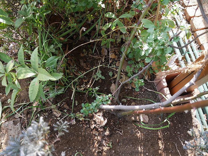 クレパスキュール(ツルバラ)に寒肥を施した。2019年-11.jpg