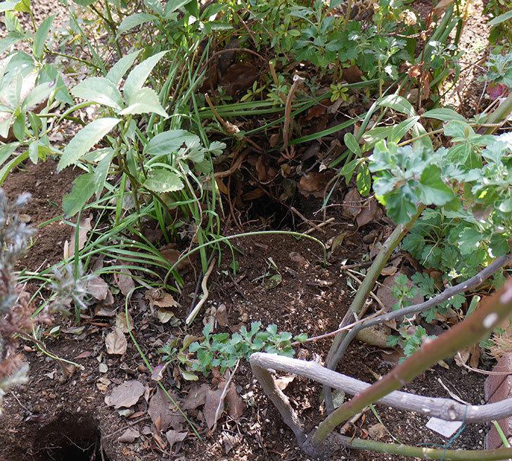 クレパスキュール(ツルバラ)に寒肥を施した。2019年-3.jpg
