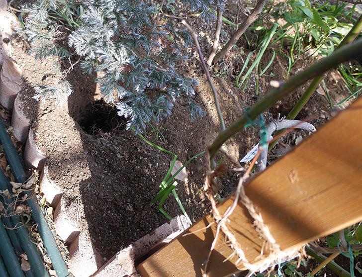 クレパスキュール(ツルバラ)に寒肥を施した。2019年-4.jpg