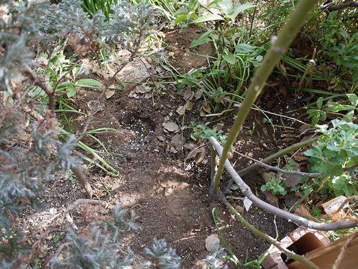 クレパスキュール(ツルバラ)に寒肥を施した。2019年-5.jpg